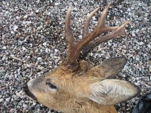 Roe Deer Bob August 2014 IMG_4883